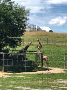 Hello giraffes!