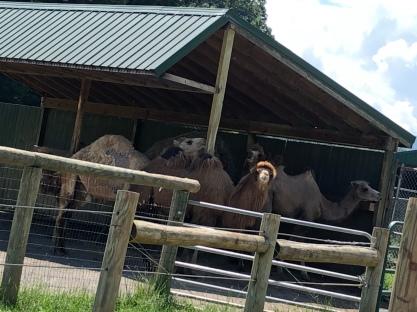 Bactrain & Dromedary Camels!