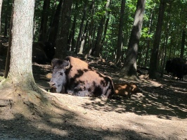 Baby Buffalo!