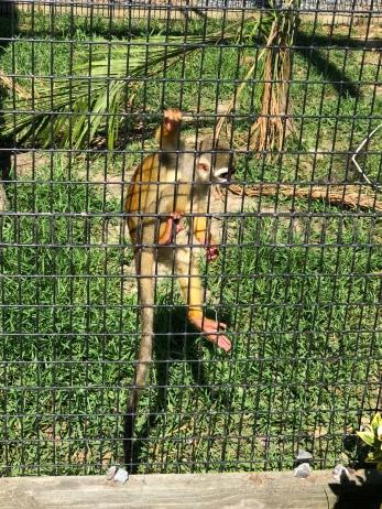 A spider monkey!