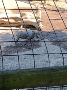 It's a warthog!