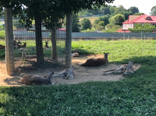 All the kangaroo...