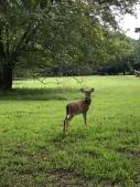 A deer at Yorktown Battlefield.