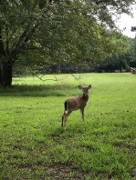 A deer at Yorktown Battlefield.