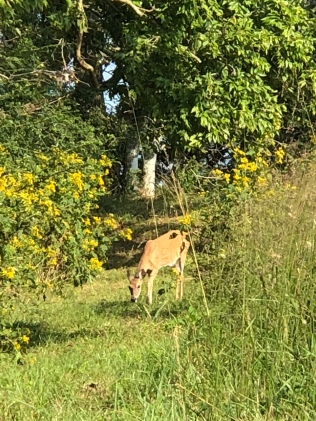 Yet another deer - they were everywhere!